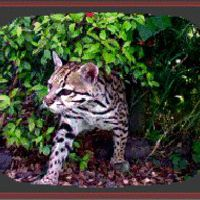 catspaws