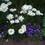 violetvine1