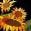 sunflowerstudiosuk
