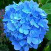 blueflower24
